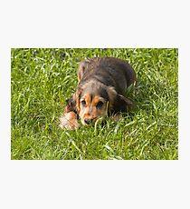 English Show Cocker Spaniel Puppy on Lawn Photographic Print