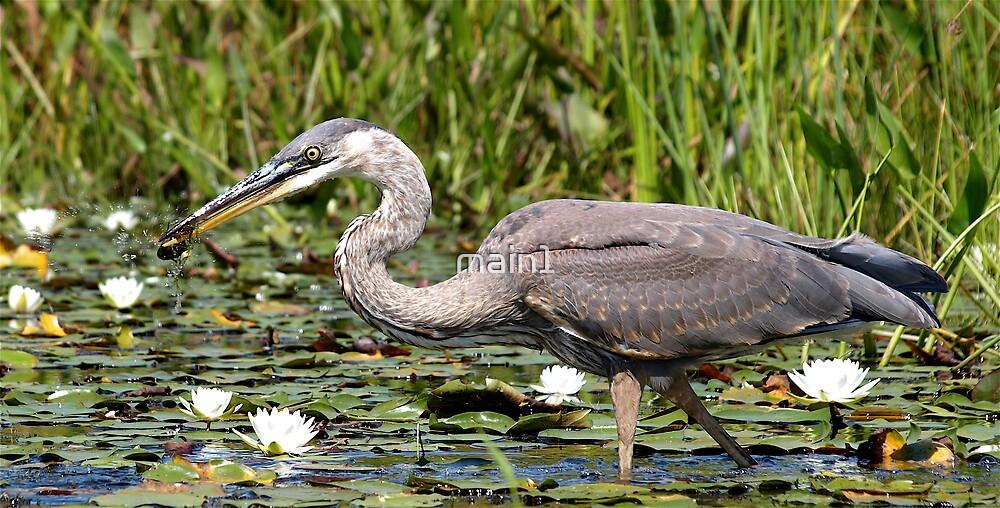 Heron (Feeding) by main1