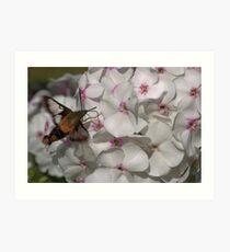 Hummingbird Moth ** Art Print
