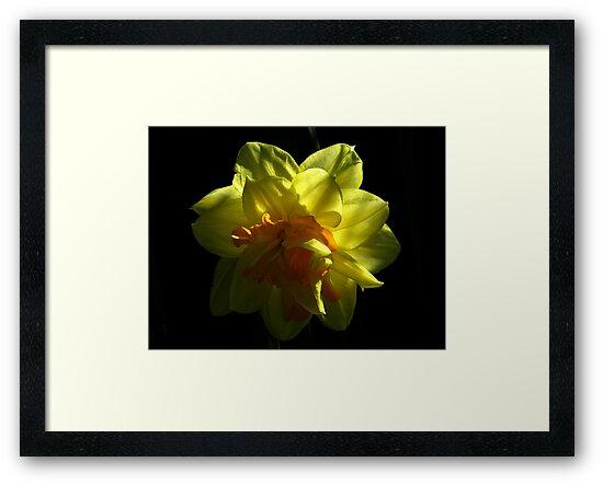 Double Daffodil Delight by Len Bomba