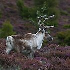 Reindeer in Heather by Jamie  Green