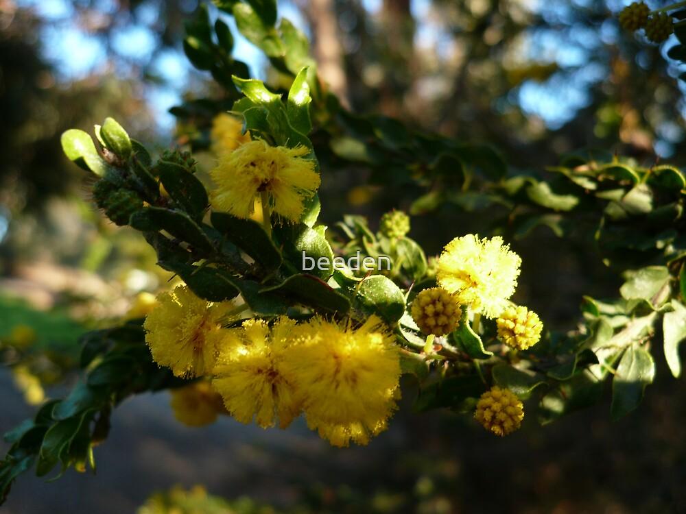 Acacia Blossoms 7 by beeden
