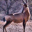 RED HARTEBEEST - Alcelaphus buselaphus by Magriet Meintjes
