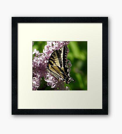Eastern Tiger Swallowtail Framed Print