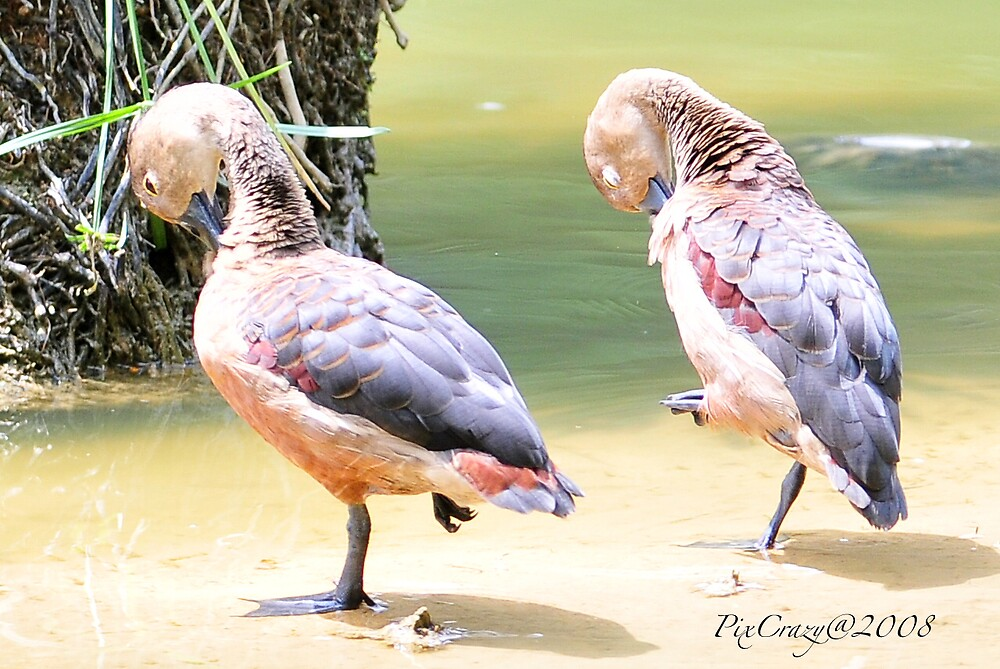 Whistling Ducks In The Sun by PixCrazy