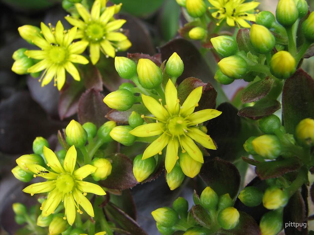 Echeveria in Bloom by pittpug