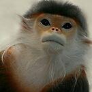 Critically Endangered Doucs Langur by Robyn Carter