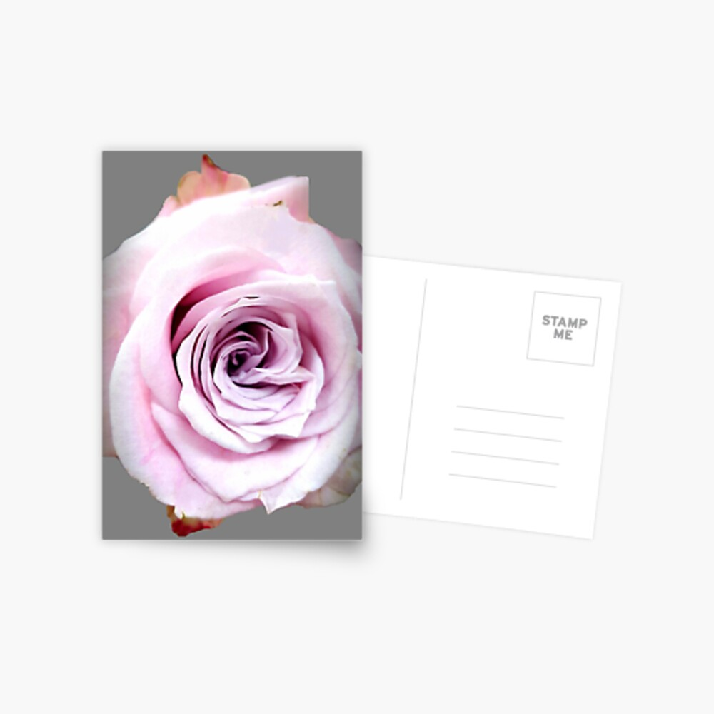 Faith rose simply  Postcard