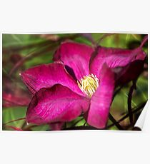 Clematis blossom Poster