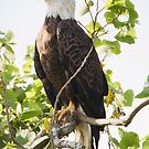 Bald Eagle by SuddenJim