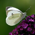 Small White by dougie1