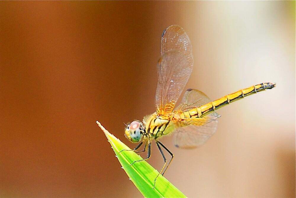 Golden Dragonfly by PixCrazy