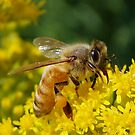 Honey Bee on Goldenrod by main1