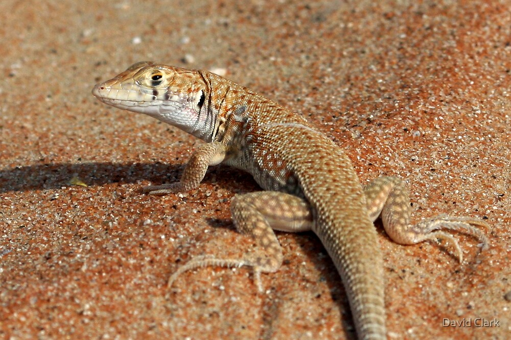 Arabian White Spotted Lizard  by David Clark
