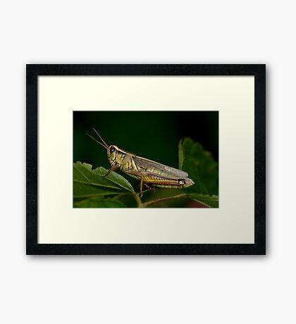 Two-Striped Grasshopper Framed Print