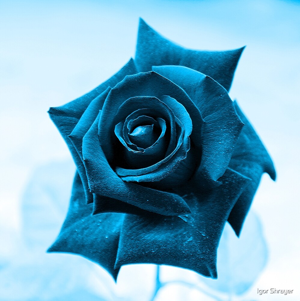 Blue Rose by Igor Shrayer