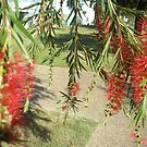 Bottle Brush Captain Cook Variety by 4spotmore