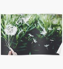 Dandelion seeds blowing in the wind  Poster