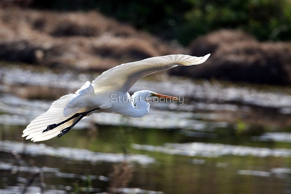 Great Egret by Stuart Cooney