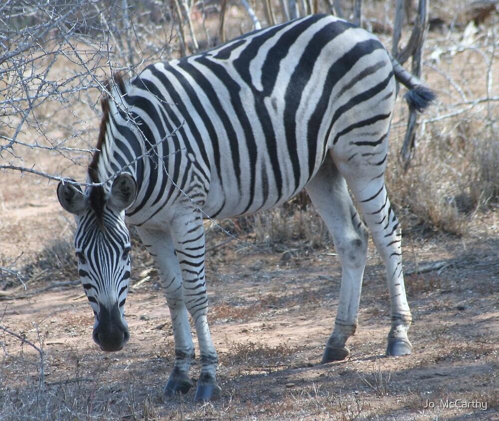 Zebra by Jo  McCarthy
