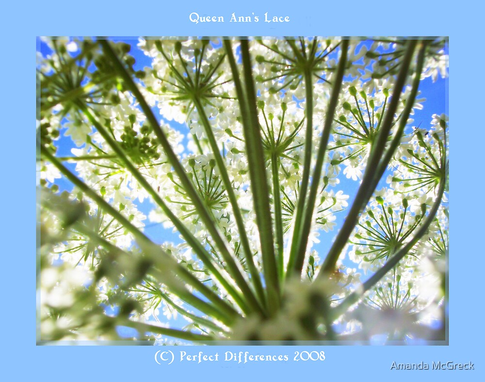 Queen Ann's Lace by Amanda McGreck