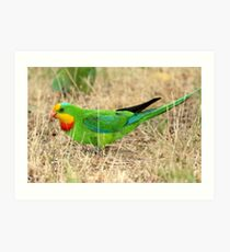 Superb Parrot Art Print