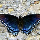 Red-spotted Purple by Lisa Putman
