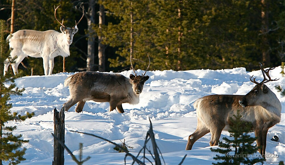 Three Reindeers by Katariina Lonnakko