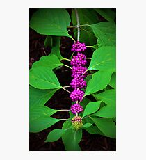 Purple Fruit Clusters Photographic Print