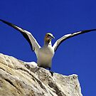 Cape Gannet - South Africa by Bev Pascoe