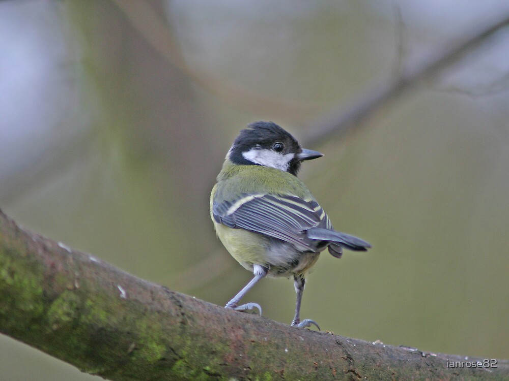 Great Tit by ianrose82