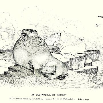 A walrus named Morse by tinyflyinggoats