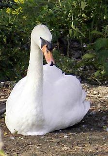 Beautiful white swan nesting by Sandra Kent