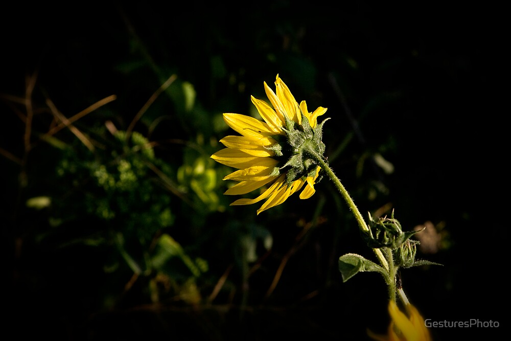 Single Sunflower by GesturesPhoto