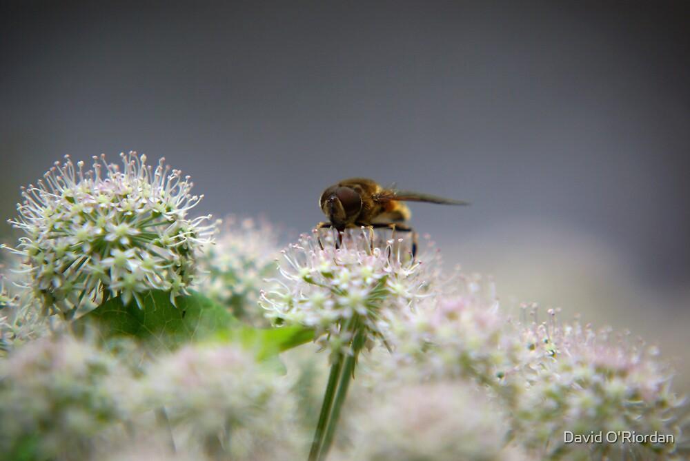 Bee by David O'Riordan