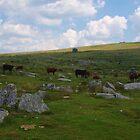 Moorland Cattle At Merrivale by lezvee