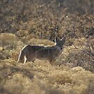 Coyote; Cottonwood, AZ by leih2008