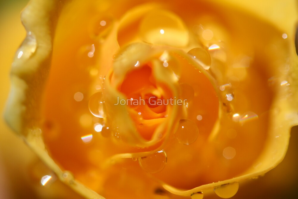 Rose Dew by Jonah Gautier