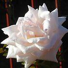 Sunlit Autumn Rose by BlueMoonRose