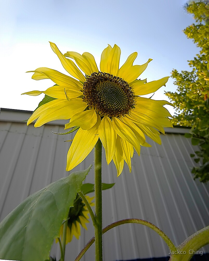 Sunflower in Summer by jackco ching