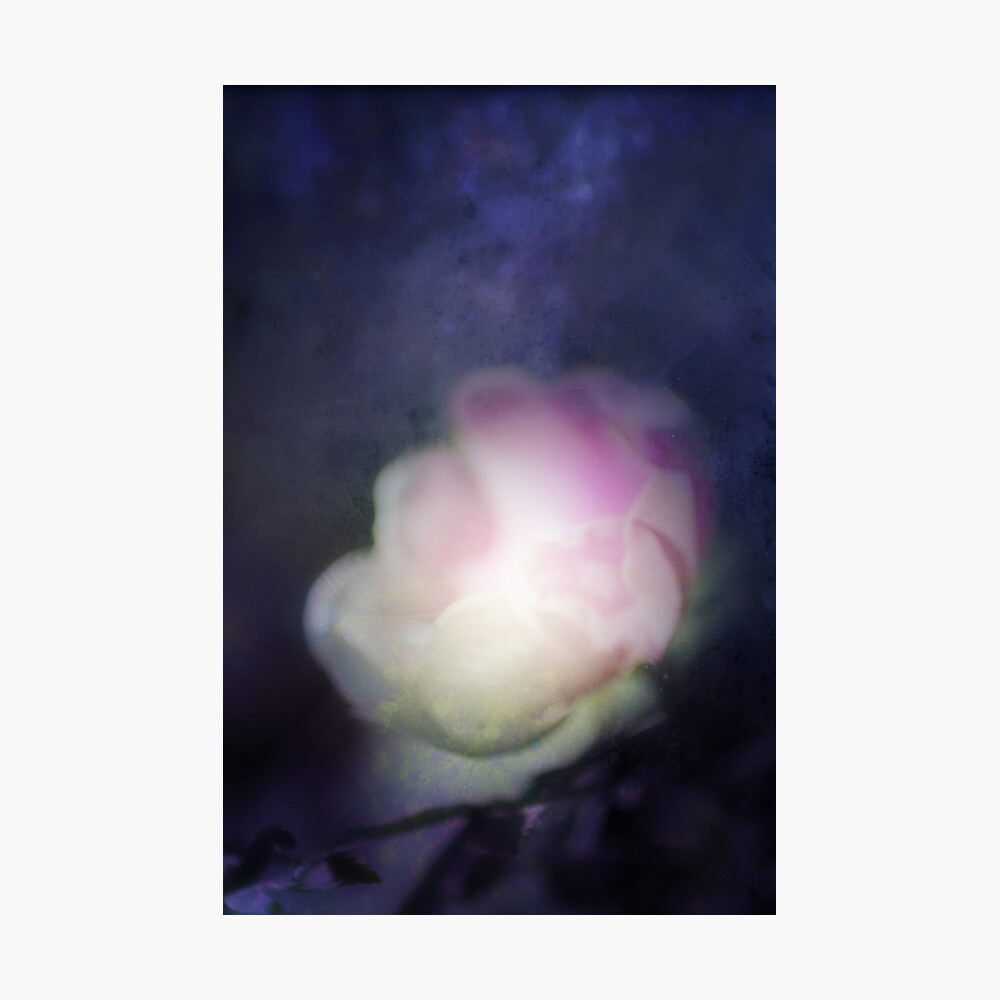 delicate pink old fashioned rose pattern 2 Photographic Print