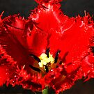 Frilled Tulip by Bev Pascoe