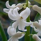 Hyacinth by Bouzov