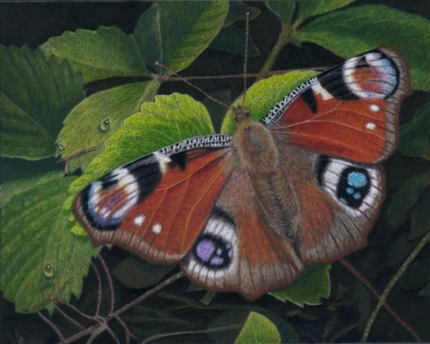 butterfly in colour pencil by Rasberry6
