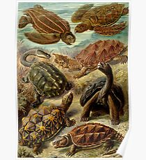 Chelonia - Art Forms of Nature Poster