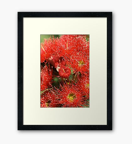 Red Eucalyptus flowers Framed Print