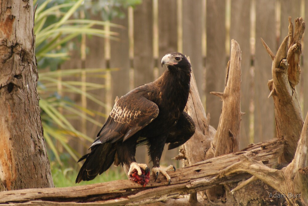 Wedgetail Eagle - Photo 1 by Adam Burr