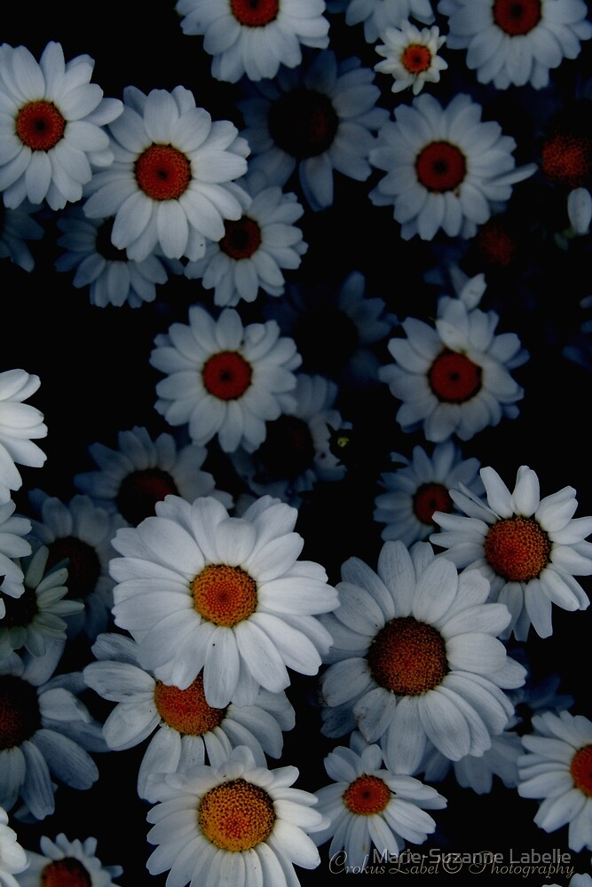 Deeply Daisies by Marie-Suzanne Labelle