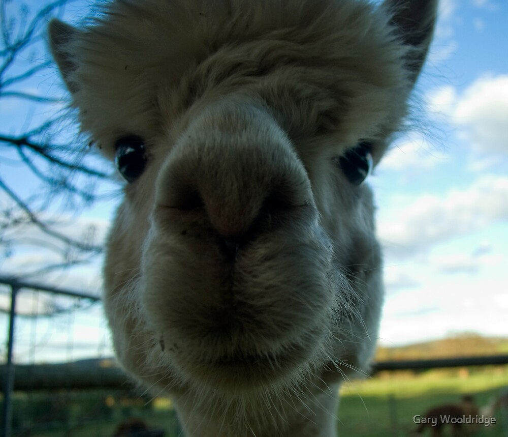 Alpaca stare by Gary Wooldridge
