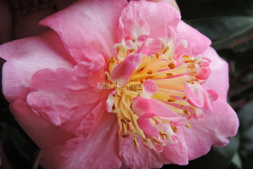 Pink Camellia by Marilyn Harris